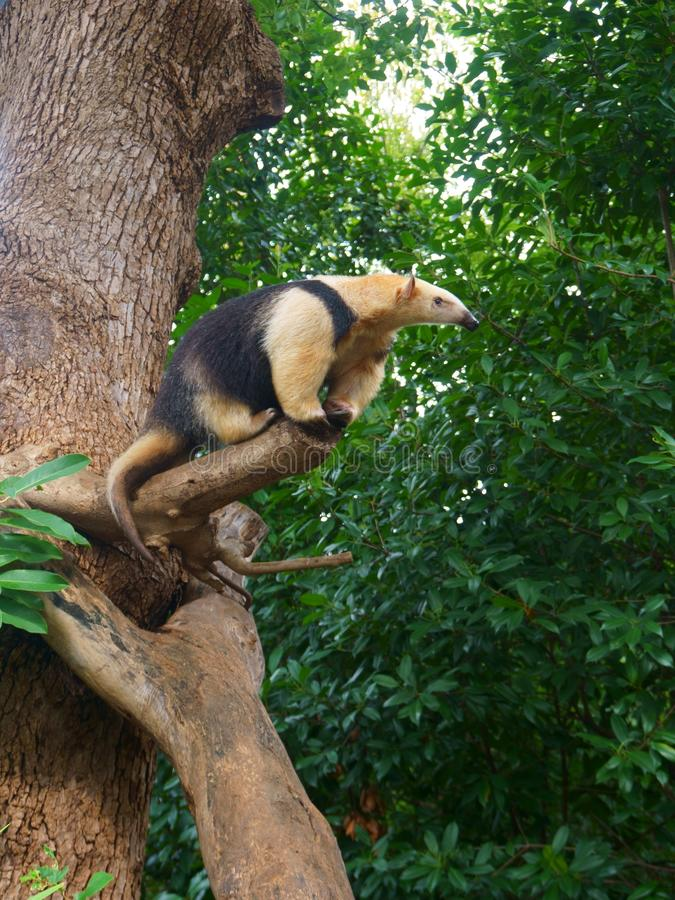 The southern tamandua on tree, also called the collared anteater stock photos