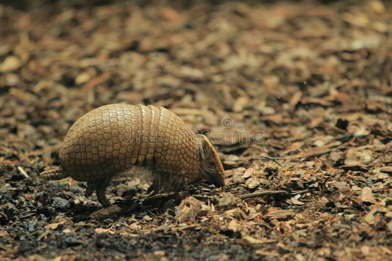 Southern three-banded armadillo. On the soil royalty free stock image