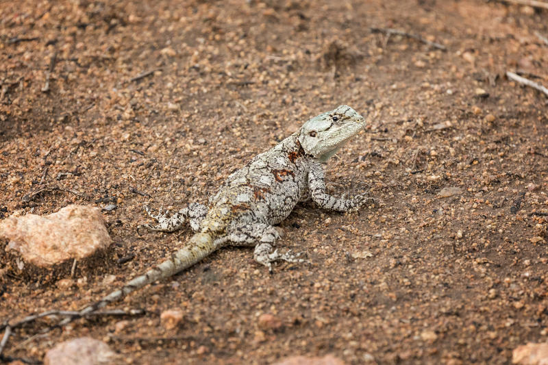 Southern Tree Agama lizard stock photos