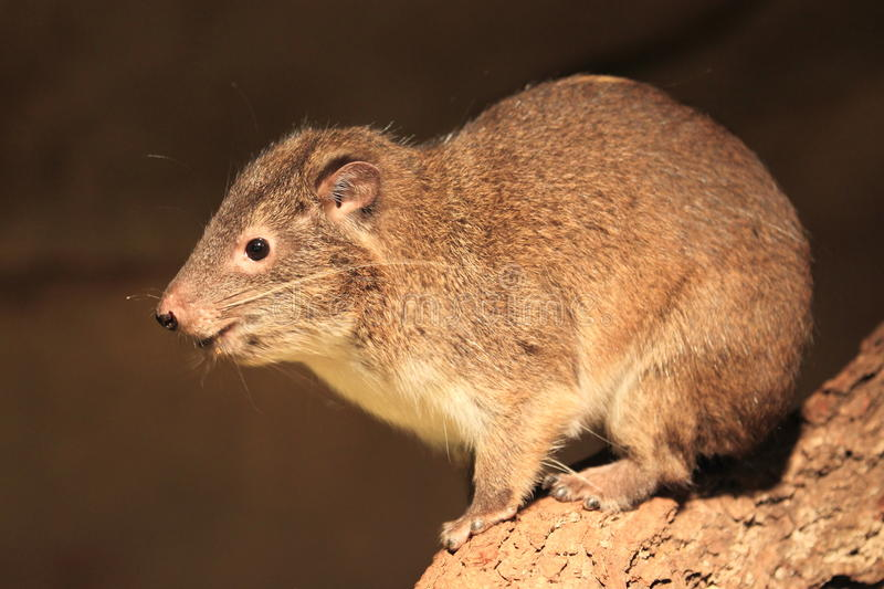 Southern tree hyrax stock photography