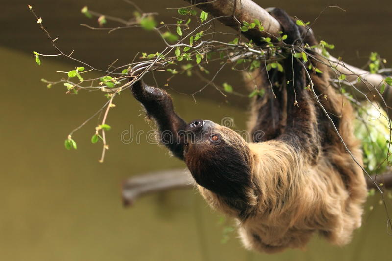 Download Southern two-toed sloth stock image. Image of southern - 24140671