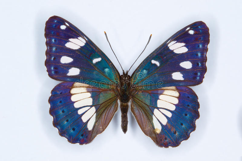 Southern White Admiral, Limenitis reducta butterfly royalty free stock photo