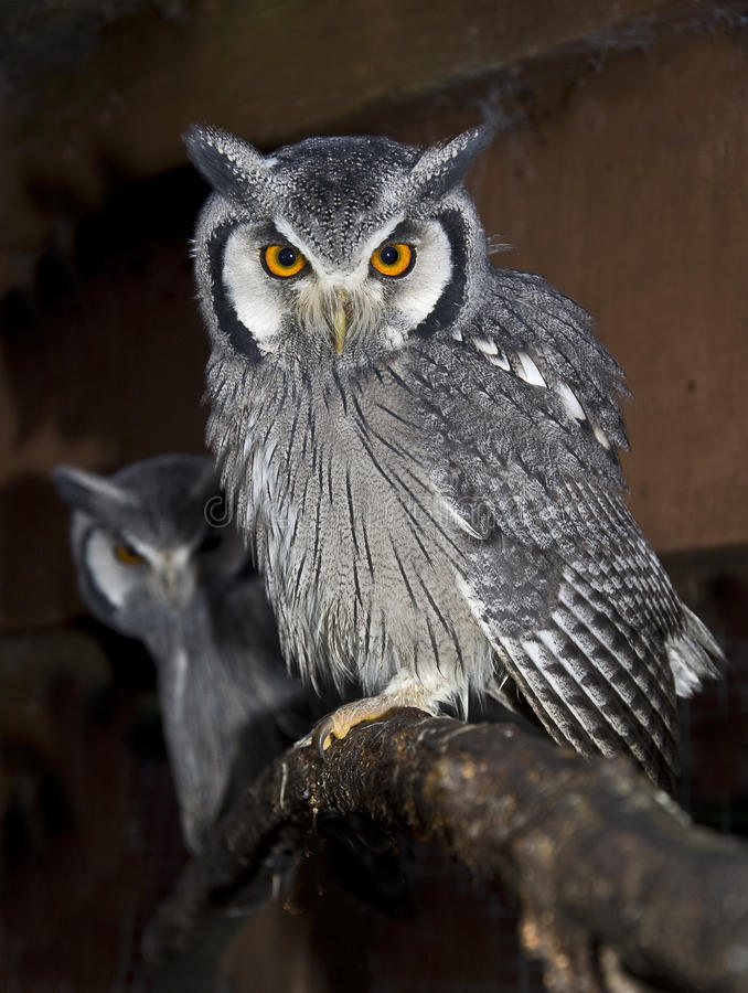 Download Southern White Faced Scops Owl Stock Photo - Image: 28255008