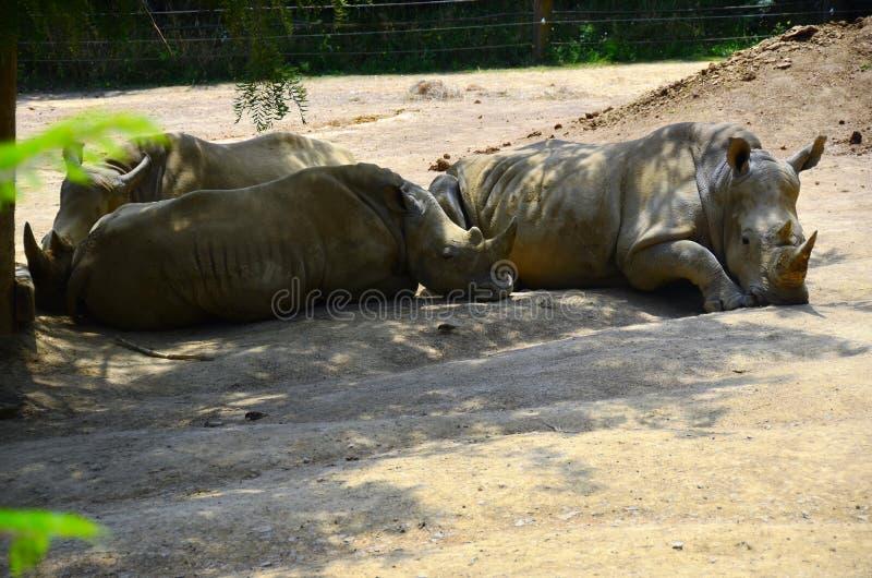 Southern White Rhino Trio royalty free stock images