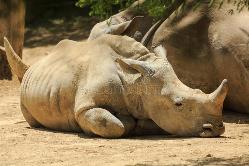 A southern white rhino calf lying next to its mother. A baby but still large southern white rhino, also known as a southern square-lipped rhinoceros stock photography