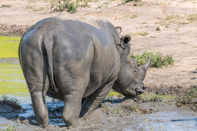 White rhino in a muddy pond. A southern white rhino, Ceratotherium simum simum, in a muddy pond. The tail and horn is visible stock photography