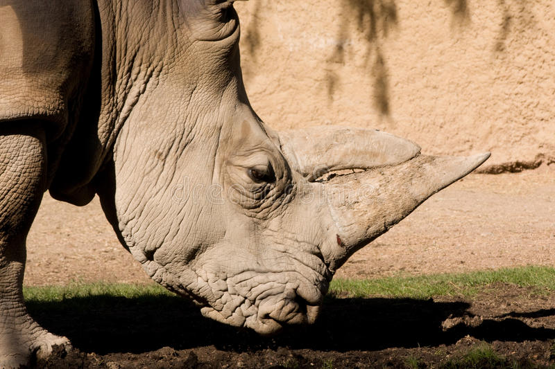 Southern White Rhino Face. Close up of Southern White Rhino head stock images