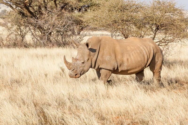Southern White Rhino. A Southern White Rhino in a grass field surrounded by acacia thorn bushes stock photo