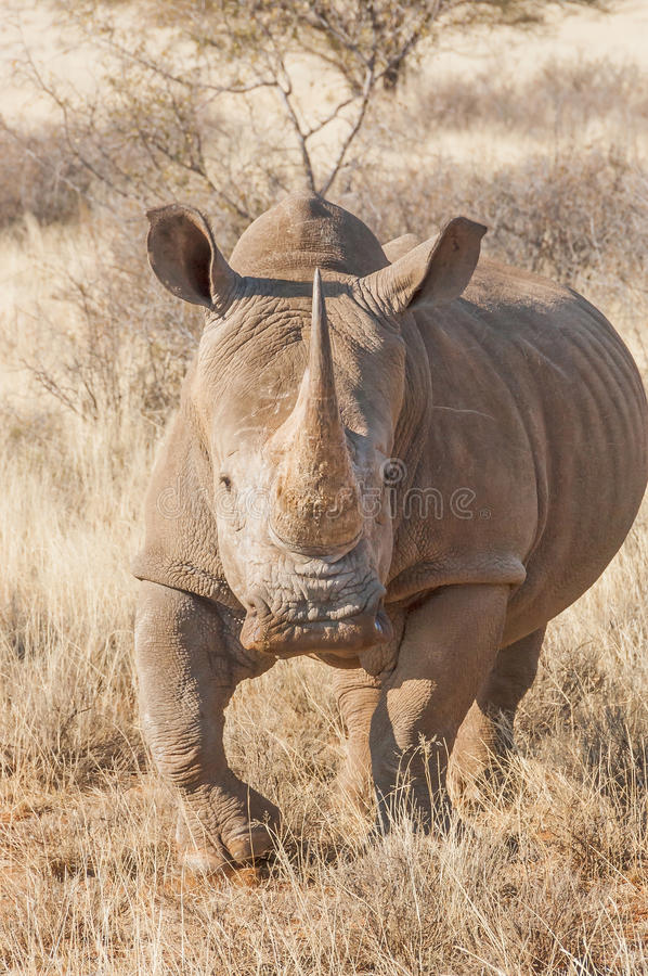 Southern White Rhino royalty free stock images