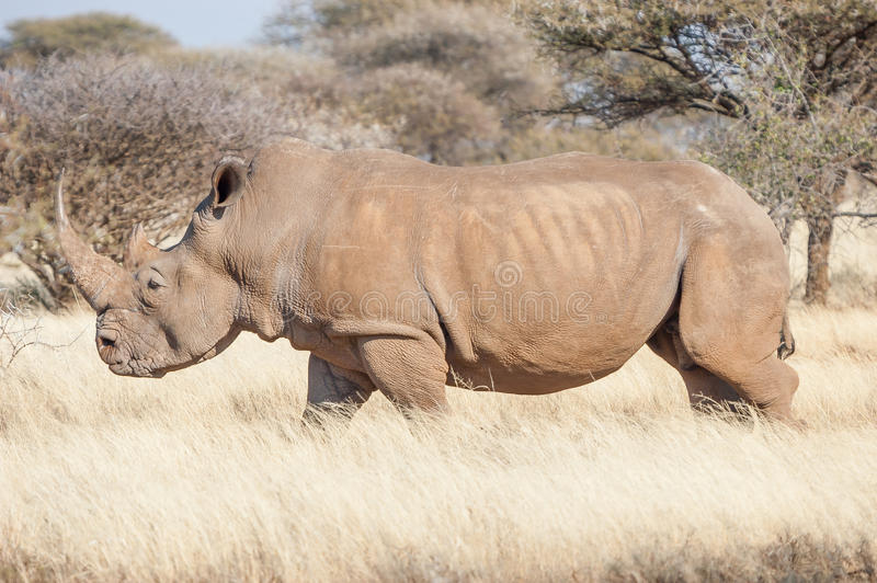 Southern White Rhino royalty free stock photography