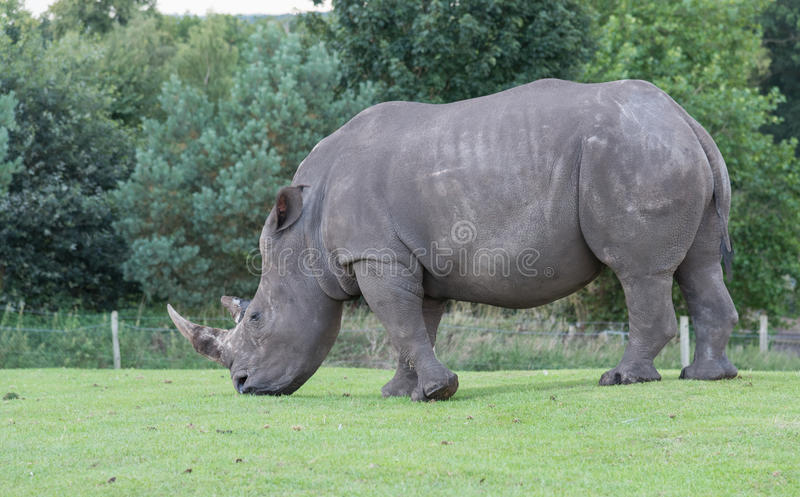 Southern White Rhino royalty free stock photos