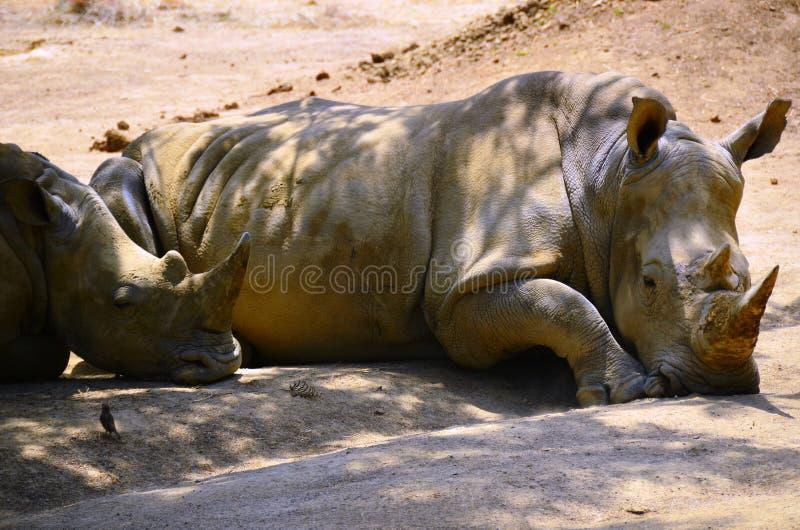 Southern White Rhino Pair royalty free stock photos