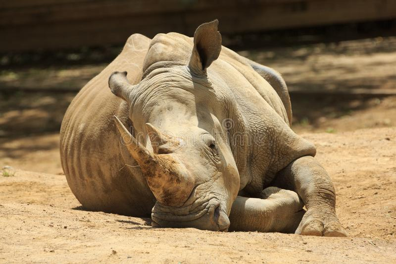 A southern white rhino relaxing on a hot day. A southern white rhinoceros aka southern square-lipped rhino, Ceratotherium simum simum snoozing in the dirt royalty free stock photo