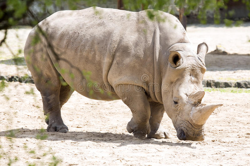 Southern White Rhinoceros, Ceratotherium s. simum. The Southern White Rhinoceros, Ceratotherium s. simum royalty free stock image