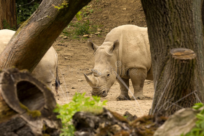 Southern White Rhinoceros, Ceratotherium s. simum, all 5 of the rhino species most sociable royalty free stock photography