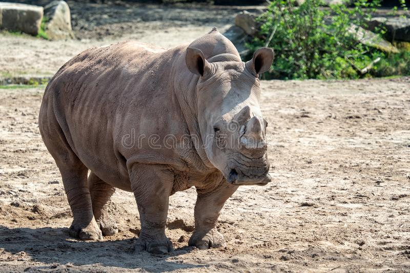 Southern White Rhinoceros stock photos