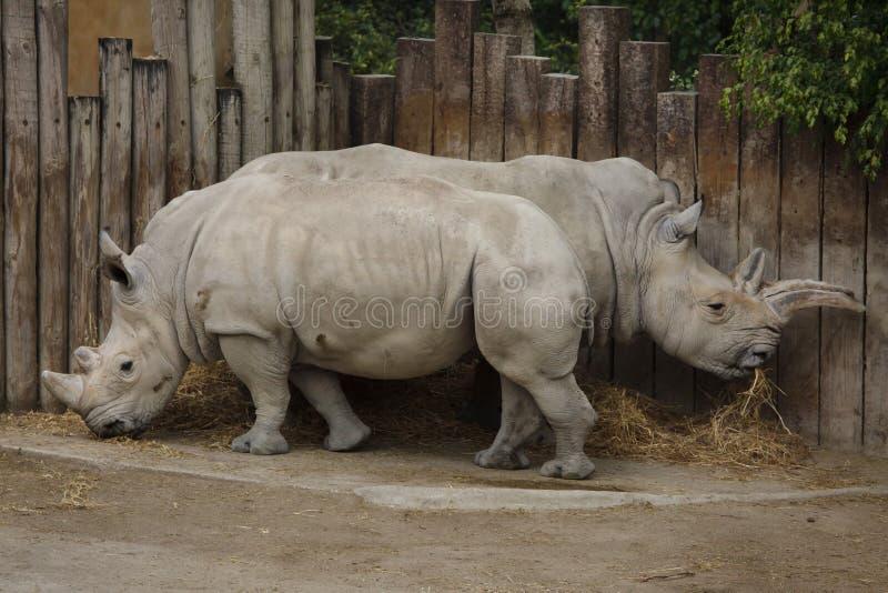 Southern white rhinoceros Ceratotherium simum royalty free stock image