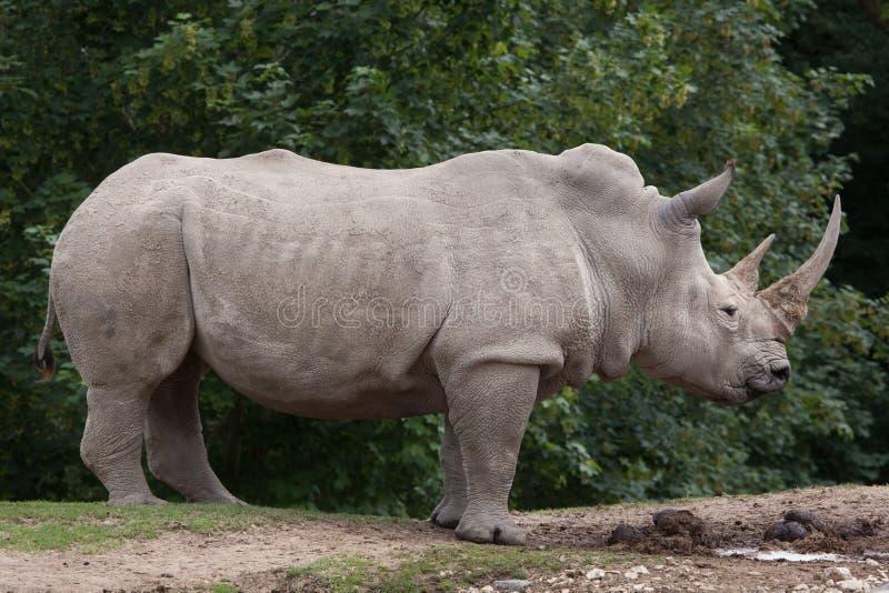 Southern white rhinoceros Ceratotherium simum. Southern white rhinoceros Ceratotherium simum simum royalty free stock photography