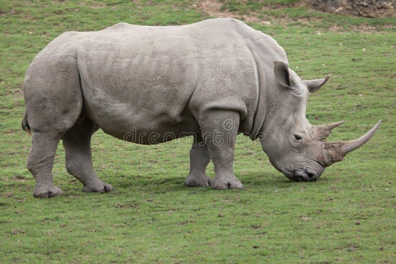 Southern white rhinoceros Ceratotherium simum. Southern white rhinoceros Ceratotherium simum simum stock images