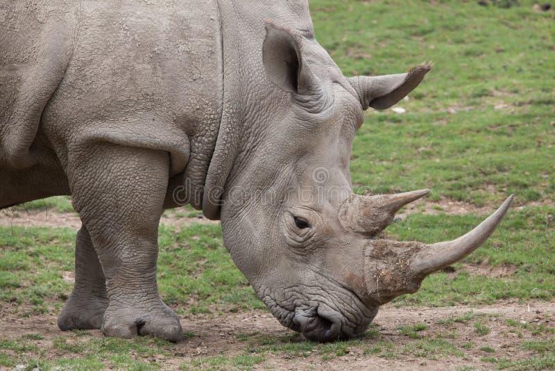 Southern white rhinoceros Ceratotherium simum. Southern white rhinoceros Ceratotherium simum simum royalty free stock images