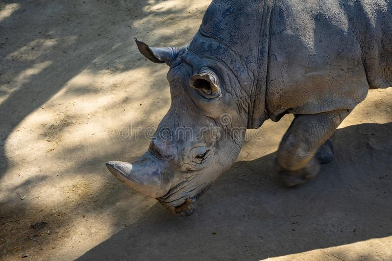 Southern white rhinoceros Ceratotherium simum simum in Barcelona Zoo stock image