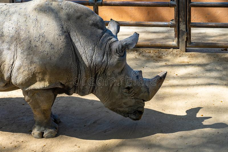 Southern white rhinoceros Ceratotherium simum simum in Barcelona Zoo.  stock photography