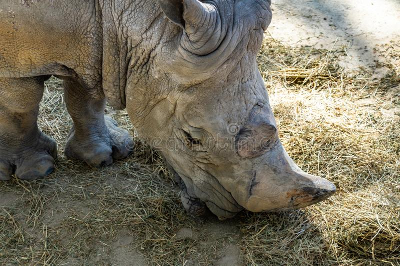 Southern white rhinoceros Ceratotherium simum simum in Barcelona Zoo.  royalty free stock photos