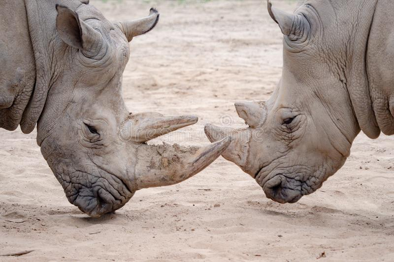 Southern white rhinoceros Ceratotherium simum simum. Critically endangered animal species stock photos