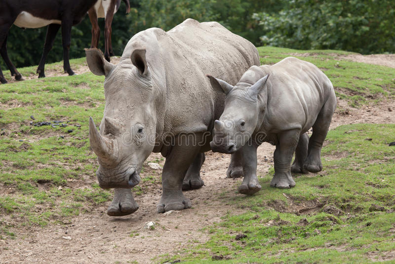 Southern white rhinoceros Ceratotherium simum. Southern white rhinoceros Ceratotherium simum simum. Female rhino with its newborn baby royalty free stock photo