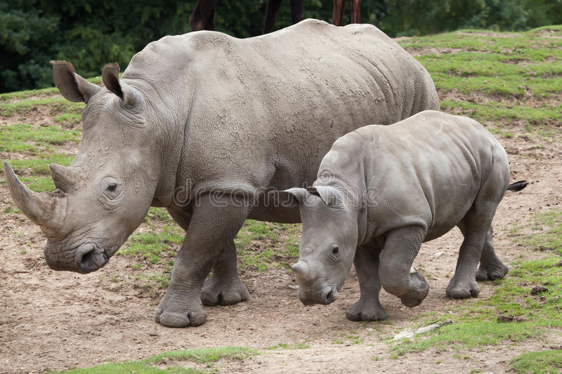 Southern white rhinoceros Ceratotherium simum. Southern white rhinoceros Ceratotherium simum simum. Female rhino with its newborn baby royalty free stock photography