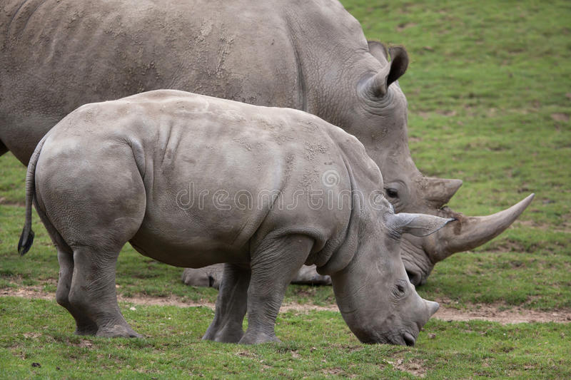 Southern white rhinoceros Ceratotherium simum. Southern white rhinoceros Ceratotherium simum simum. Female rhino with its newborn baby stock photography