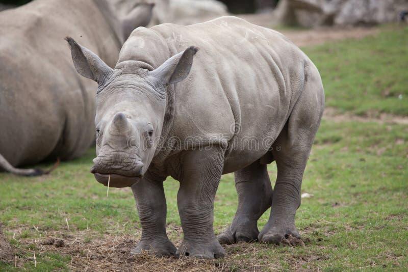 Southern white rhinoceros Ceratotherium simum. royalty free stock photo