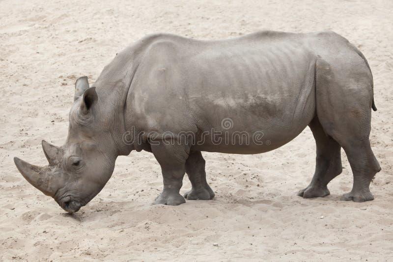 Southern white rhinoceros Ceratotherium simum simum. Southern white rhinoceros Ceratotherium simum simum royalty free stock photo