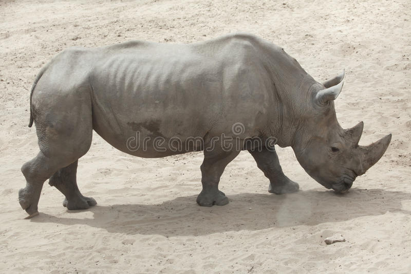 Southern white rhinoceros Ceratotherium simum simum. Southern white rhinoceros Ceratotherium simum simum royalty free stock image