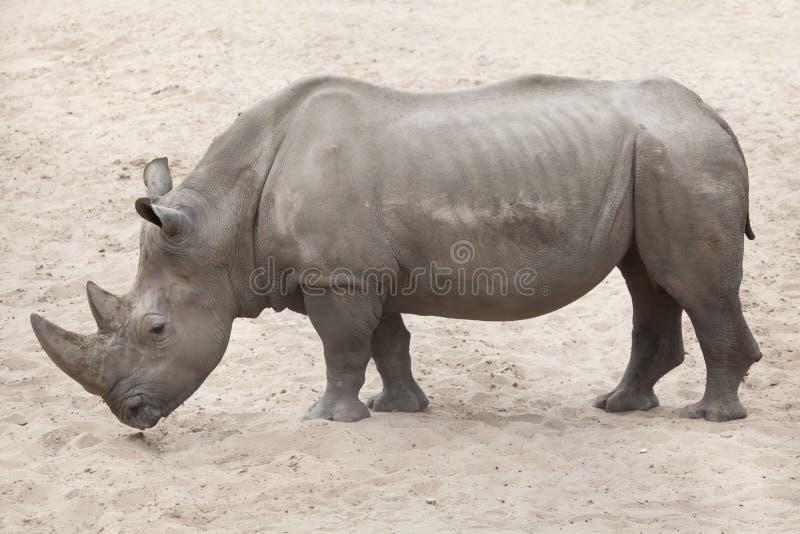 Southern white rhinoceros Ceratotherium simum simum. Southern white rhinoceros Ceratotherium simum simum royalty free stock photos