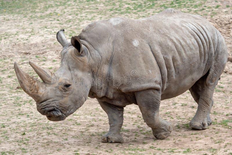Southern white rhinoceros Ceratotherium simum simum. Critically endangered animal species royalty free stock photos