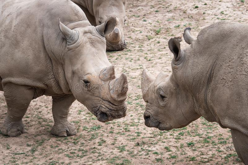 Southern white rhinoceros Ceratotherium simum simum. Critically endangered animal species royalty free stock image