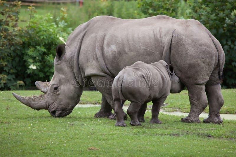 Southern white rhinoceros (Ceratotherium simum simum). Female rhino feeding its newborn baby. Wildlife animal royalty free stock image