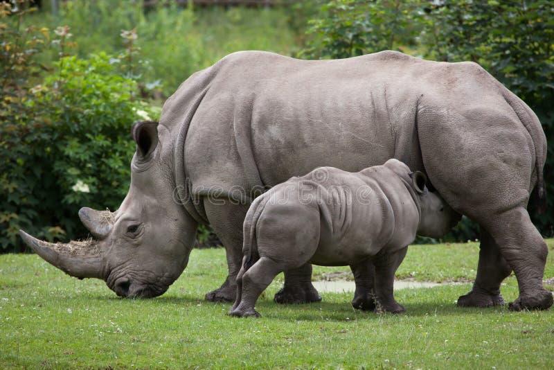 Southern white rhinoceros (Ceratotherium simum simum). Female rhino feeding its newborn baby. Wildlife animal royalty free stock photo