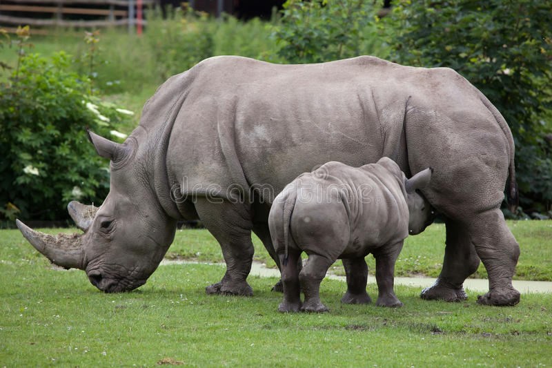 Southern white rhinoceros (Ceratotherium simum simum). Female rhino feeding its newborn baby. Wildlife animal stock photo
