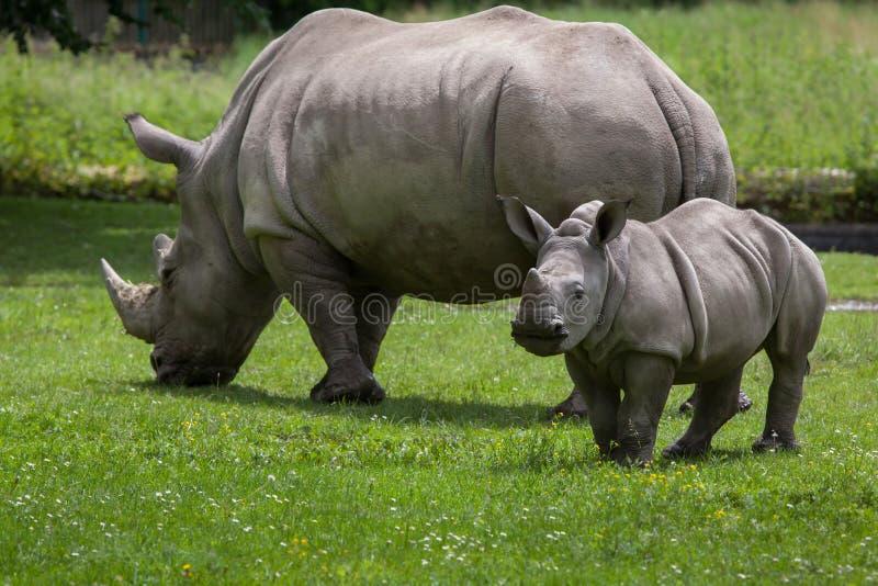 Southern white rhinoceros (Ceratotherium simum simum). Female rhino with its newborn baby. Wildlife animal stock image