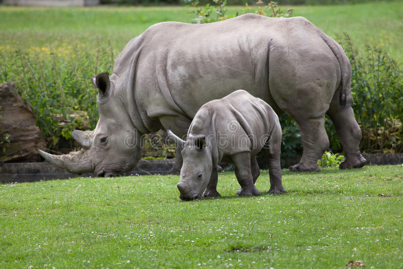 Southern white rhinoceros (Ceratotherium simum simum). Female rhino with its newborn baby. Wildlife animal royalty free stock photography