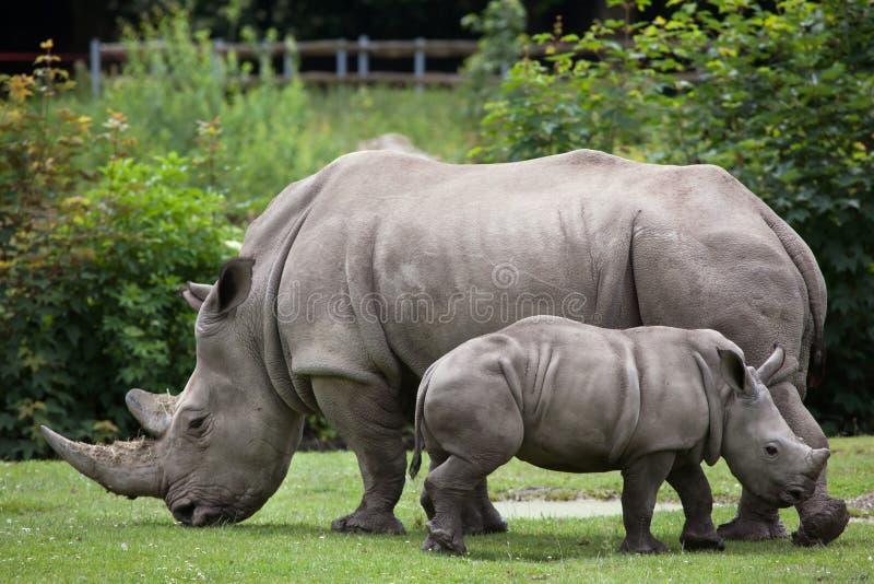 Southern white rhinoceros (Ceratotherium simum simum). Female rhino with its newborn baby. Wildlife animal royalty free stock photos