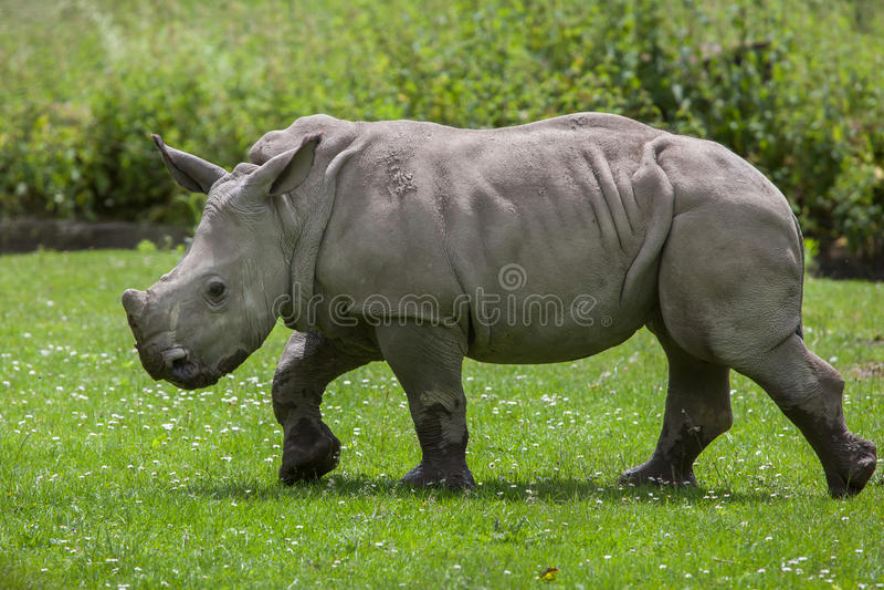 Southern white rhinoceros (Ceratotherium simum simum). Little rhino. Wildlife animal stock photography