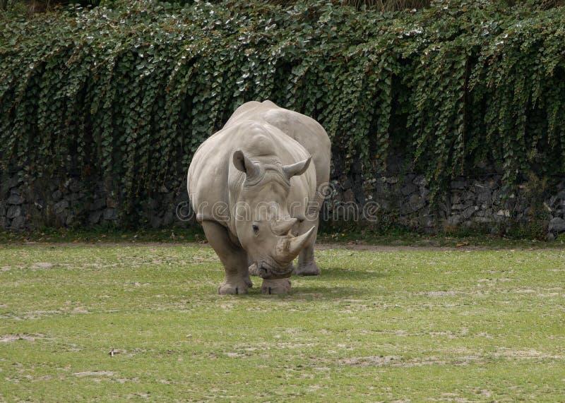 Southern White Rhinoceros / Ceratotherium simum simum looking left. stock photo
