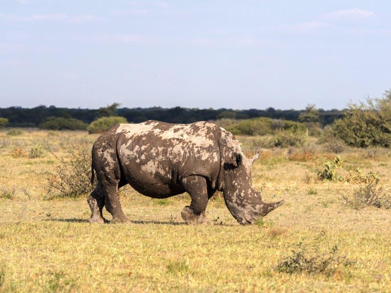 Southern White rhinoceros, Ceratotherium simum simum, mud cover, Botswana stock photo