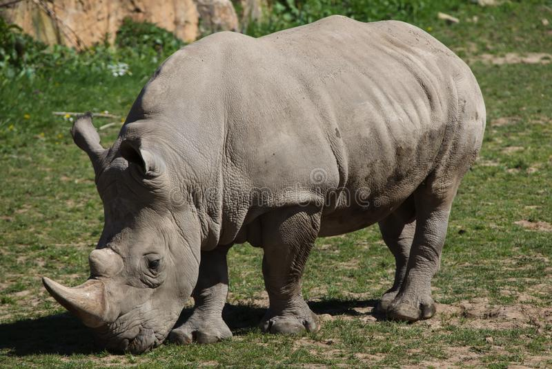 Southern white rhinoceros Ceratotherium simum stock images