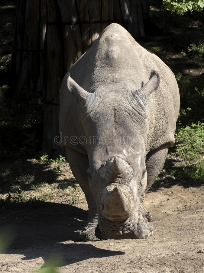 Southern White Rhinoceros, Ceratotherium simum simum, is threatened with extinction. The Southern White Rhinoceros, Ceratotherium simum simum, is threatened with royalty free stock image