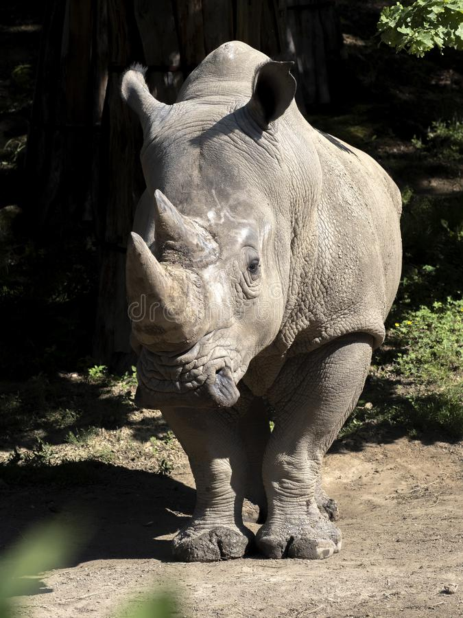 Southern White Rhinoceros, Ceratotherium simum simum, is threatened with extinction. The Southern White Rhinoceros, Ceratotherium simum simum, is threatened with stock images