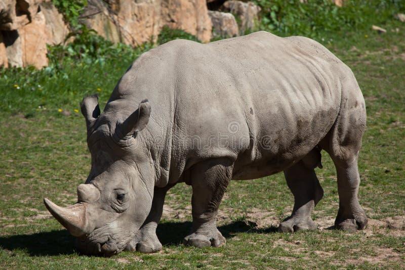 Southern white rhinoceros (Ceratotherium simum simum). Wild life animal royalty free stock images